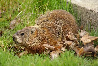 Groundhog Marmota monax Family Sciuridae Britannia Conservation Area, Ottawa, Ontario 29 April 2011