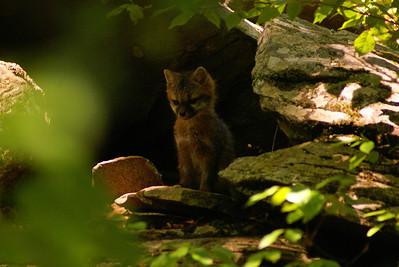 Red Fox (kit) Vulpes vulpes Family Canidae Lake Minisink, Porter Township, Pennsylvania 31 May 2012