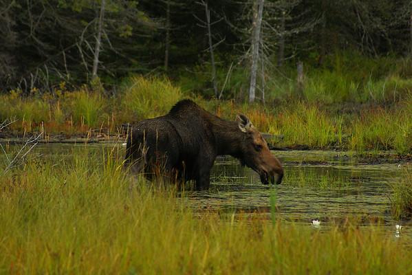 Eastern Moose (female) Alces alces americana Family Cervidae Algonquin Provincial Park, Ontario 4 September 2012