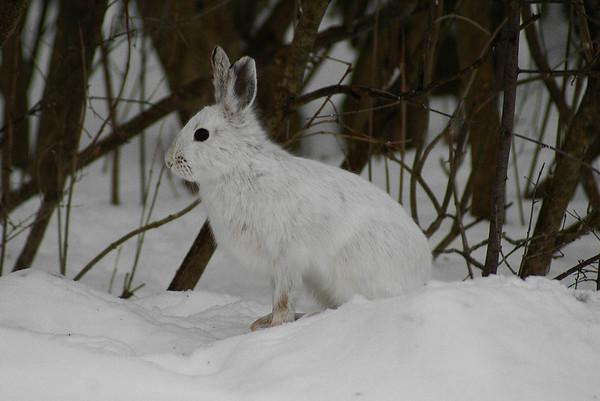 Snowshoe Hare Lepus americanus Family Leporidae Shirley's Bay, Ottawa, Ontario 19 January 2013