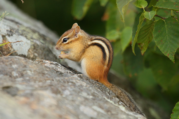 Eastern Chipmunk Tamias striatus Family Sciuridae Parc National du Mont-Orford, Orford, Québec 17 August 2016