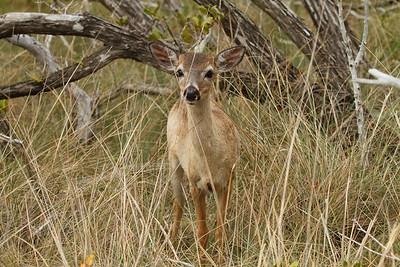 Key Deer Odocoileus virginianus clavium Family Cervidae National Key Deer Refuge, Big Pine Key, Florida 17 April 2017