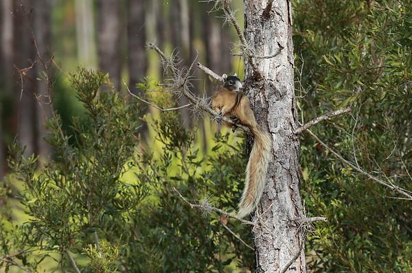"Fox Squirrel ""Sherman's"" subspecies Sciurus niger shermani Family Sciuridae Avon Park Air Force Range, Polk County, Florida 13 December 2020"