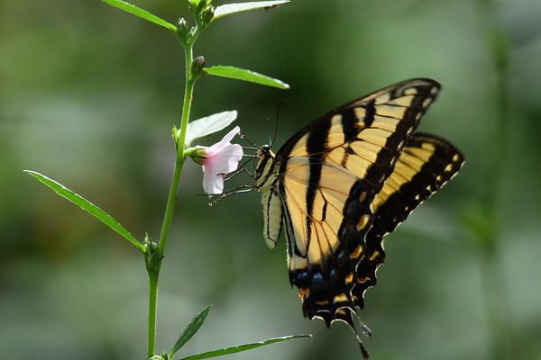 Eastern Tiger Swallowtail Papilio glaucus Family Papilionidae Saddle Creek Park, Lakeland, Florida 11 October 2017