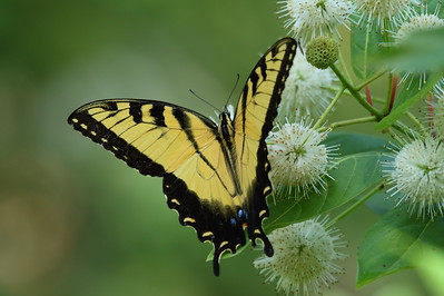 Eastern Tiger Swallowtail Papilio glaucus Family Papilionidae Avon Park Air Force Range, Polk County, Florida 7 July 2018