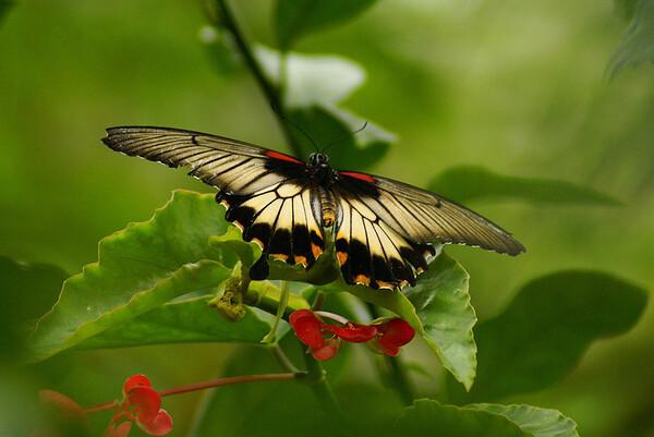 Scarlet Swallowtail Papilio rumanzovia Family Papilionidae Butterfly Exhibition 2012, Carleton University, Ottawa, Ontario 29 September 2012