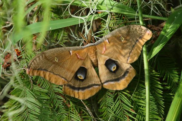 Polyphemus Moth Antheraea polyphemus Family Saturniidae Circle B Bar Reserve, Lakeland, Florida 4 October 2016