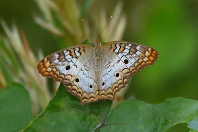 White Peacock Anartia jatrophae Family Nymphalidae Circle B Bar Reserve, Lakeland, Florida 2 November 2016
