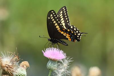 Black Swallowtail Papilio polyxenes Family Papilionidae Avon Park Air Force Range, Highlands County, Florida 3 June 2018