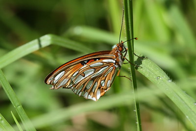 Gulf Fritillary Agraulis vanillae Family Nymphalidae Koke'e State Park, Kauai, Hawaii 9 March 2015