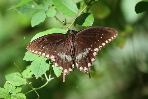 Spicebush Swallowtail Papilio troilus Family Papilionidae Saddle Creek Park, Lakeland, Florida 11 October 2017