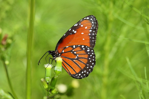 Queen Danaus gilippus Family Nymphalidae Circle B Bar Reserve, Lakeland, Florida 8 July 2018