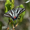 Zebra Swallowtail<br> <i>Protographium marcellus</i><br> Family <i>Papilionidae</i><br> Hickory Lake, Frostproof, Florida<br> 26 April 2017