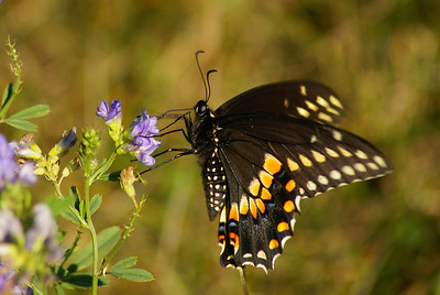 Black Swallowtail Papilio polyxenes Family Papilionidae St. Albert Lagoons, St. Albert, Ontario 20 August 2012