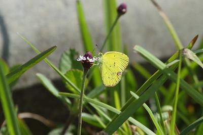 Little Yellow Eurema lisa Family Pieridae Avon Park Air Force Range, Highlands County, Florida 3 June 2018