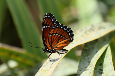 Viceroy Limenitis archippus Family Nymphalidae Hickory Hammock Wildlife Management Area, Lorida, Florida 4 May 2017