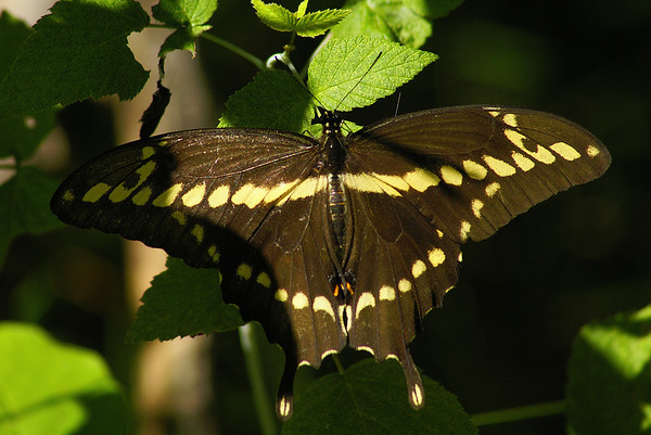 Giant Swallowtail Papilio cresphontes Family Papilionidae Lindsay Lake Trail, Perth Road, Ontario 18 August 2012
