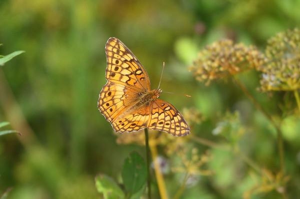 Variegated Fritillary Euptoieta claudia Family Nymphalidae Avon Park Air Force Range, Highlands County, Florida 3 June 2018