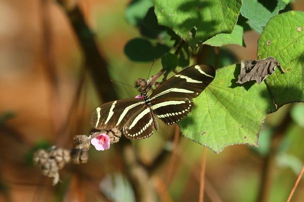 Zebra Longwing Heliconius charithonia tuckeri Family Nymphalidae Circle B Bar Reserve, Lakeland, Florida 13 December 2016