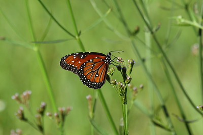 Queen Danaus gilippus Family Nymphalidae Circle B Bar Reserve, Lakeland, Florida 5 July 2017