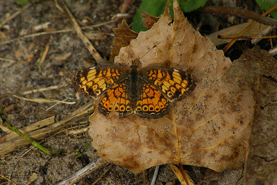 Northern Crescent Phyciodes selenis Family Nymphalidae Owen Point Trail, Presqu'ile Provincial Park, Brighton, Ontario 15 September 2010