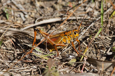 Eastern Lubber Grasshopper Romalea guttata Family Romaleidae Big Cypress National Preserve, Ochopee, Florida 1 February 2017