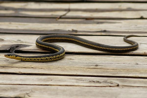 Eastern Garter Snake Thamnophis sirtalis sirtalis Family Colubridae Mer Bleue Bog, Ramsayville, Ontario 6 May 2011