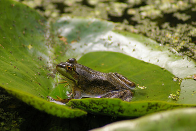 Northern Green Frog Rana clamitans melanota Family Ranidae Britannia Conservation Area, Ottawa, Ontario 14 August 2010