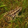 Pickerel Frog<br> <i>Ranus palustris</i><br> Family <i>Ranidae</i><br> Watchaug Pond, Charlestown, Rhode Island<br> 5 September 2011