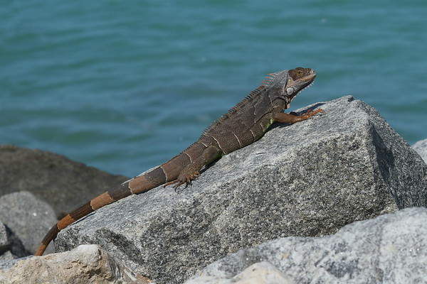 Mexican Spiny-tailed Iguana Ctenosaura pectinata Family Iguanidae Fort Zachary Taylor Historic State Park, Key West, Florida 19 April 2017