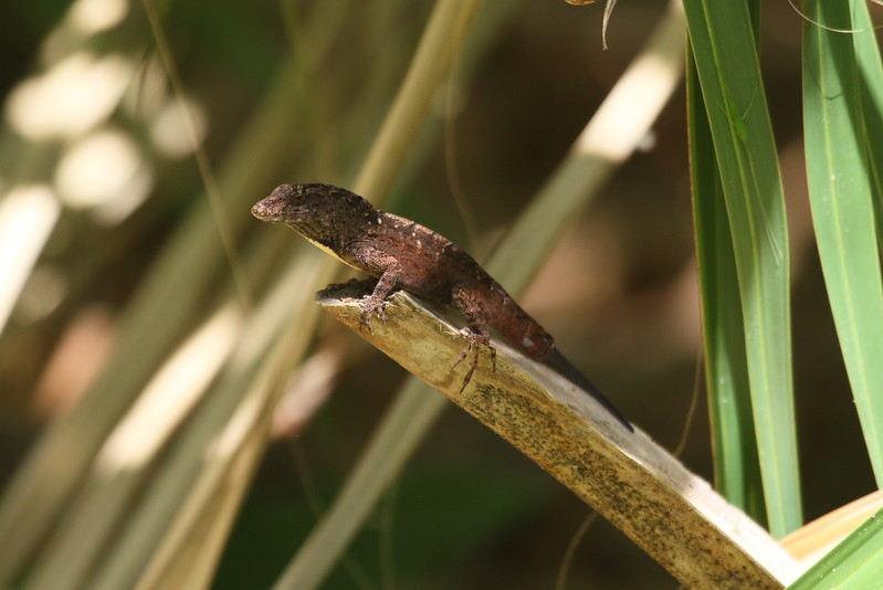 Cuban Brown Anole<br> <i>Anole sagrei</i><br> Family <i>Dactyloidae</i><br> Enchanted Forest Sanctuary, Titusville, Florida<br> 21 March 2017