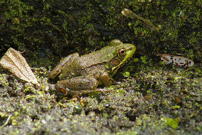 Northern Green Frog Rana clamitans melanota Family Ranidae Britannia Conservation Area, Ottawa, Ontario 29 July 2010