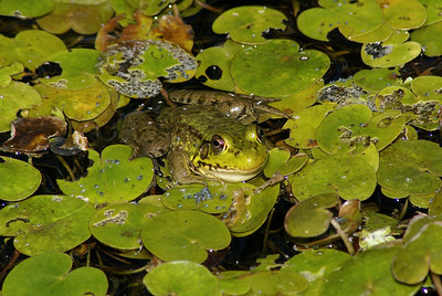 Northern Green Frog Rana clamitans melanota Family Ranidae Stony Swamp Conservation Area (Old Quarry Trail), Nepean, Ontario 25 July 2010