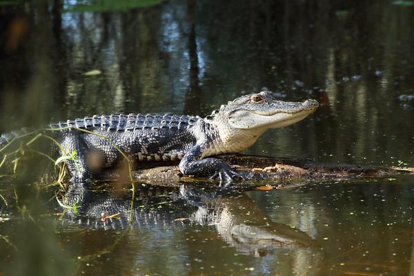 American Alligator Alligator mississippiensis Family Alligatoridae Circle B Bar Reserve, Lakeland, Florida 4 October 2016