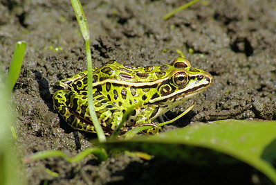 Northern Leopard Frog Rana pipiens Family Ranidae Britannia Conservation Area, Ottawa, Ontario 29 July 2010