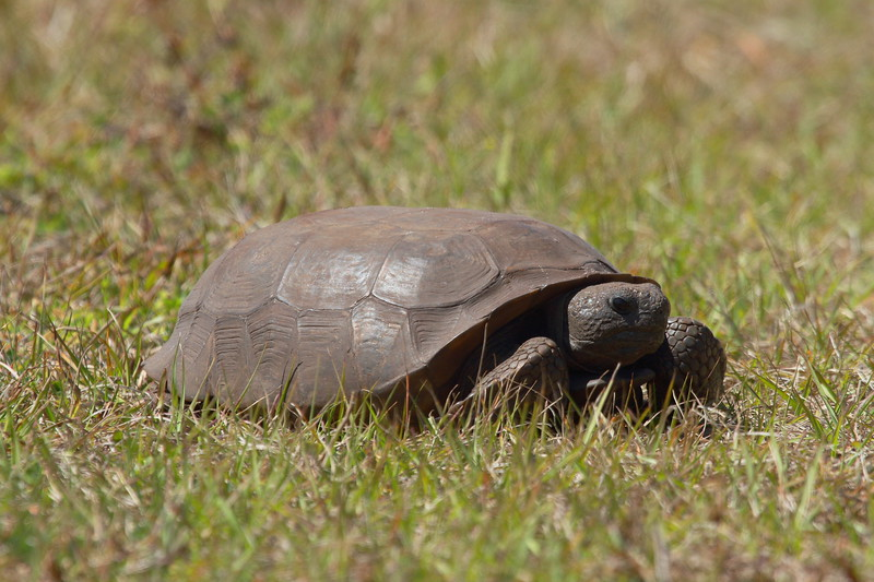 Gopher Tortoise<br> <i>Gopherus polyphemus</i><br> Family <i>Testudinidae</i><br> Avon Park Air Force Range, Polk County, Florida<br> 24 March 2018