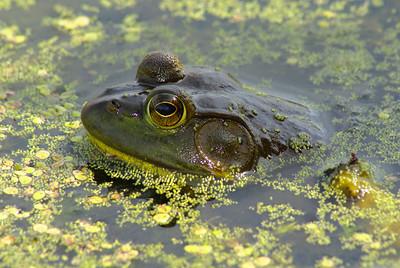 American Bullfrog Lithobates catesbeianus Family Ranidae Britannia Conservation Area, Ottawa, Ontario 14 August 2010