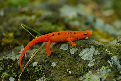Eastern Newt (juvenile) Notophthalmus viridescens Family Salamandridae Pocono Environmental Education Center, Dingman's Ferry, Pennsylvania 4 May 2012