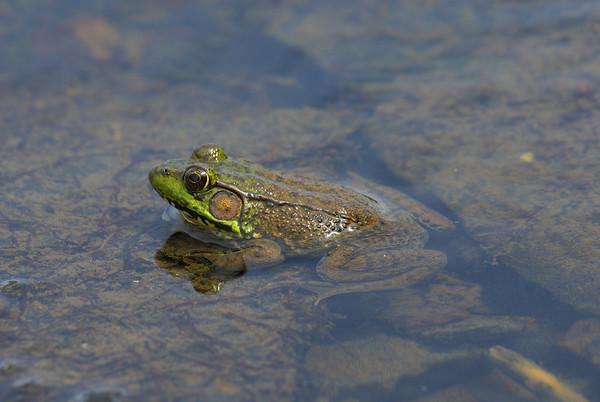 Northern Green Frog Rana clamitans melanota Family Ranidae Britannia Conservation Area, Ottawa, Ontario 14 August 2010