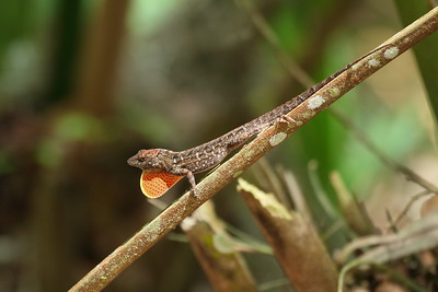 Cuban Brown Anole Anole sagrei Family Dactyloidae Hillsborough River State Park, Thonotosassa, Florida 16 May 2017
