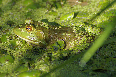 Northern Green Frog Rana clamitans melanota Family Ranidae Bill Mason Centre, Dunrobin, Ontario 31 July 2010