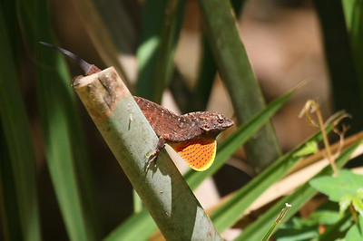 Cuban Brown Anole Anole sagrei Family Dactyloidae Enchanted Forest Sanctuary, Titusville, Florida 21 March 2017
