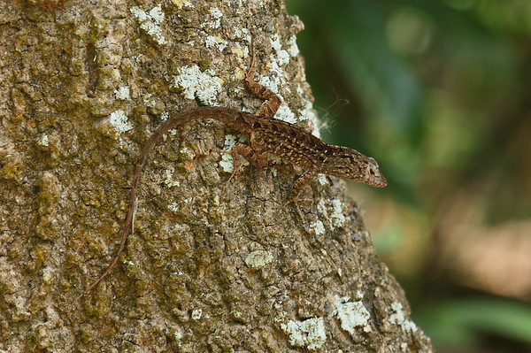 Bark Anole Anolis distichus Family Polychrotidae Rothenbach Park, Sarasota, Florida 9 March 2017