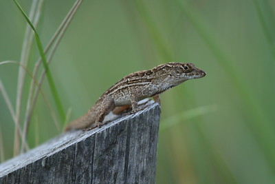 Eastern Fence Lizard Sceloporus undulatus Family Phrynosomatidae Celery Fields, Sarasota, Florida 4 July 2018