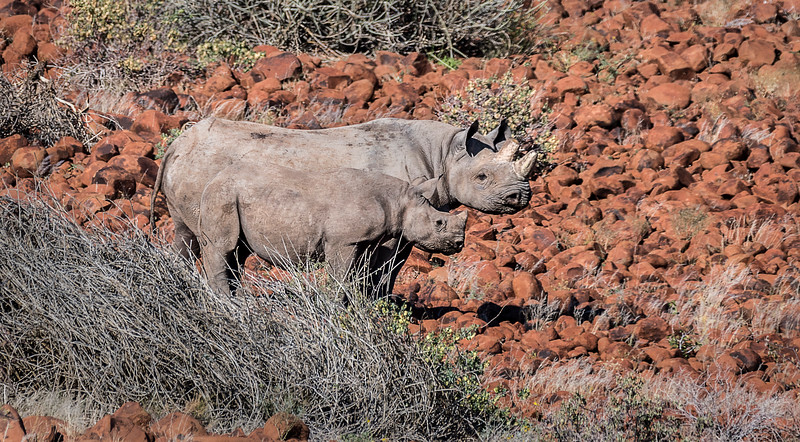 Black Rhino  & her young