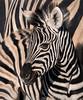 Plains Zebra - Etosha National Park