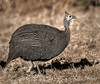 Helmeted Guineafowl - Ongava Reserve