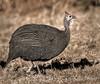Helmeted Guineafowl - Ongava Reserve