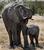 Elephants at Watering Hole - Etosha National Park