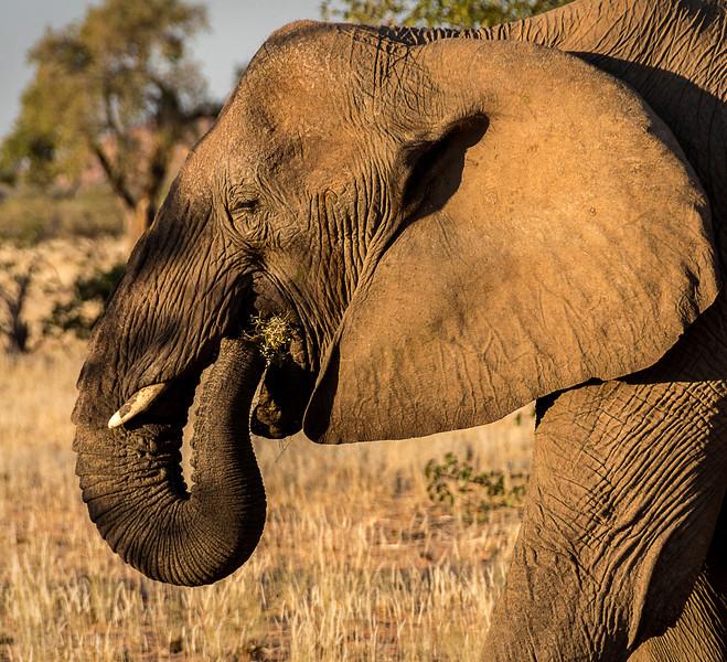 Desert-adapted elephants in Doro !Nawas